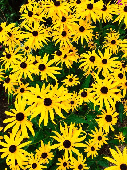 Garden of Brown-eyed Susans - Brogan Fine Art
