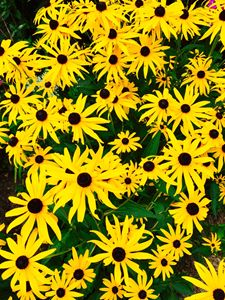 Garden of Brown-eyed Susans