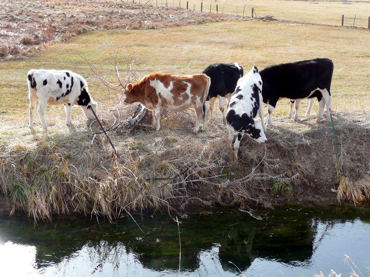 Calves along the canal - Brian Shaw
