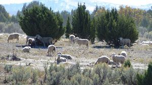 Sheep among the Junipers