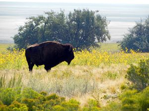 Buffalo Sunflowers - Brian Shaw