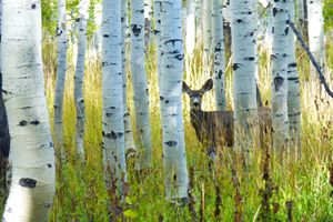 Deer with Aspens - Brian Shaw