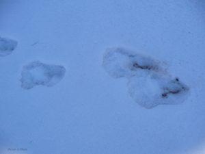 BigFoot Prints in Snow - Brian Shaw