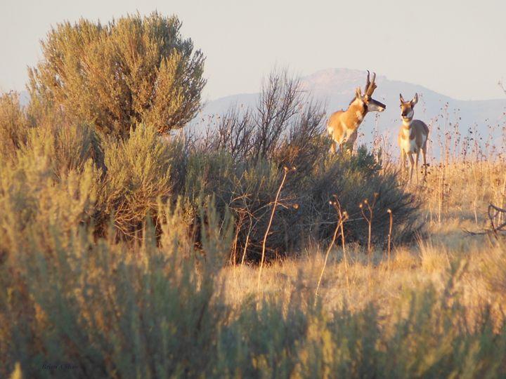 Antelope Pair - Brian Shaw