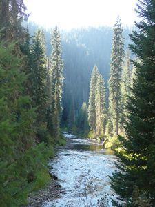 Pines and River at Dawn