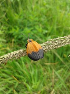 beetle prince