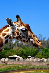 Giraffe Profile - Lubit Arts