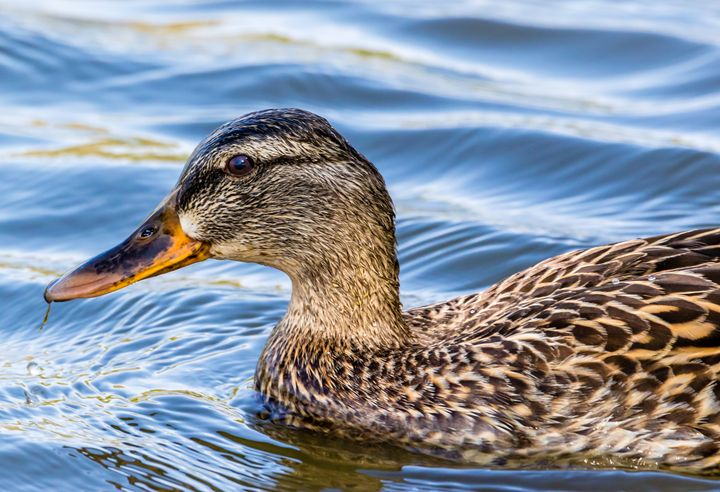 Duck taking a dip in the pond - Jeremy Carpenter
