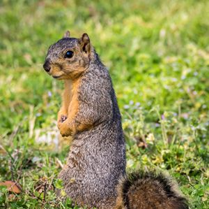 A pensive Fox Squirrel