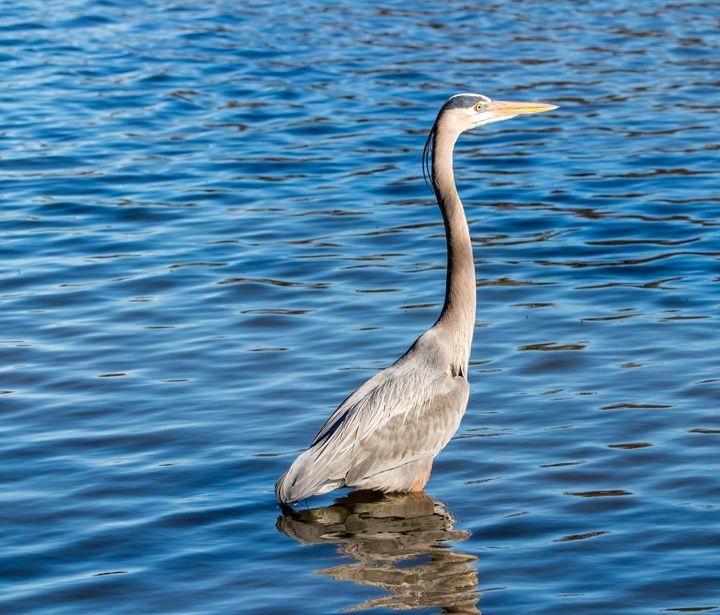 Heron wading through a pond - Jeremy Carpenter