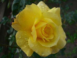 Shabnam Gulab – Dew Kissed Rose
