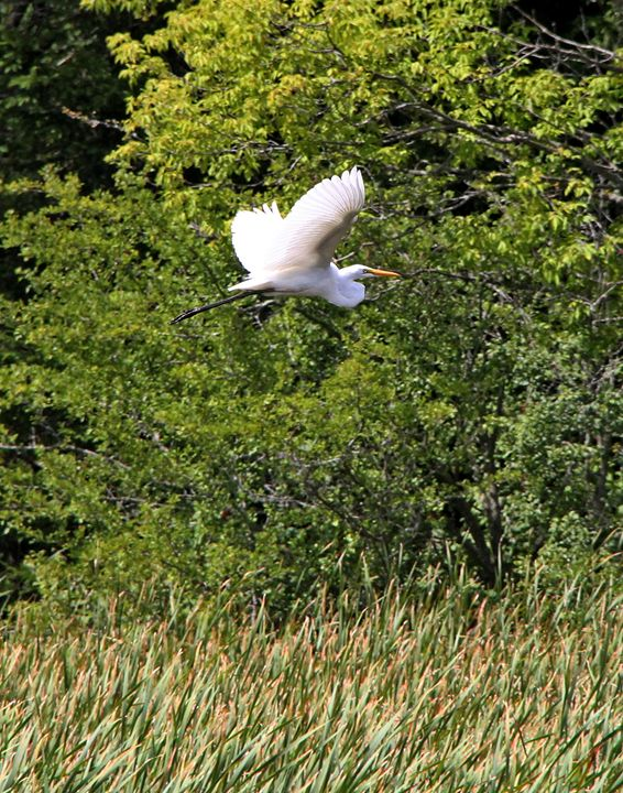Great Egret in Flight - DC Photography