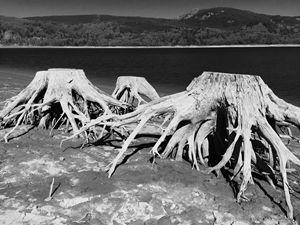 Riffe Lake Trunks, October
