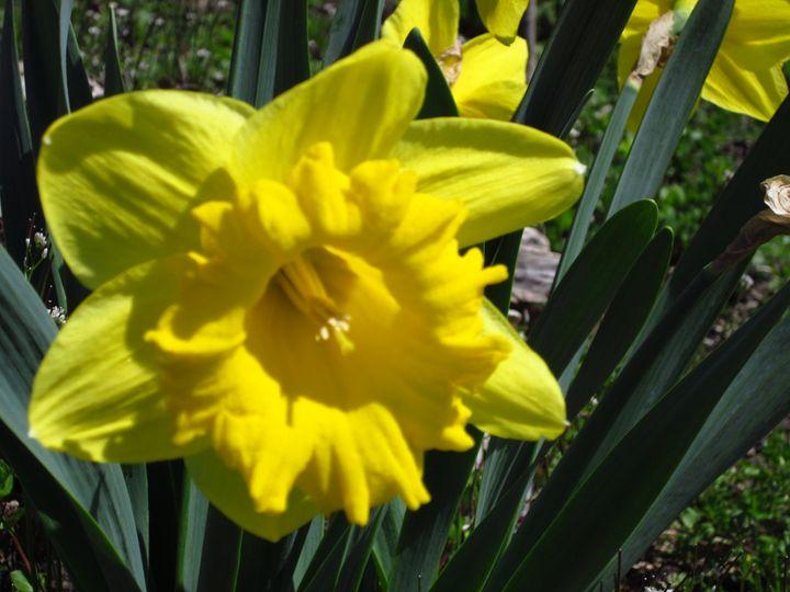 Daffodil - Lia-Marie's Design Studio