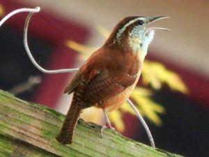 ~Chirping Wren~ - Barbee's Photography