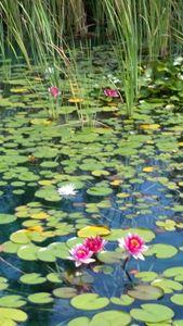 On pink pond