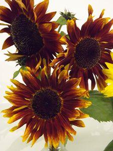 Trio of Dark Sunflowers