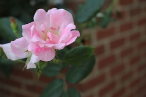 Solitary Pink Rose