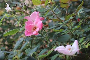 Flourishing Pink Roses