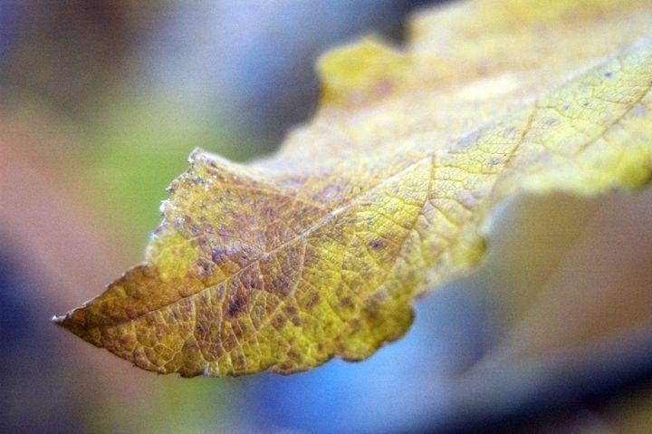 Autumn Leaf - Brie A. Edwards Photography