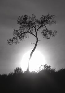 Black and White and Gray Pine