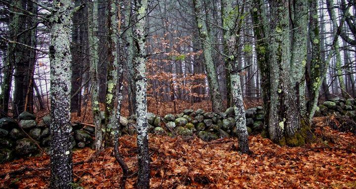 Woods of Maine - Colleen G. Drew Photography