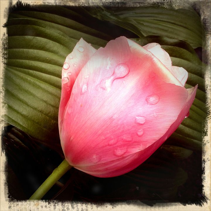 Pink Tulip - Colleen G. Drew Photography