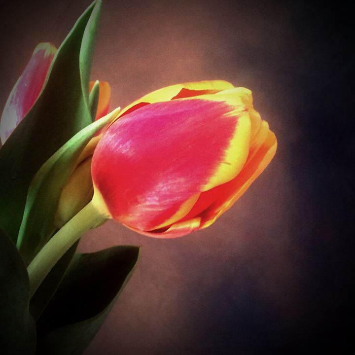 Tulip - Colleen G. Drew Photography
