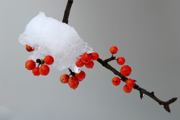 Red Berries in Snow - Colleen G. Drew Photography