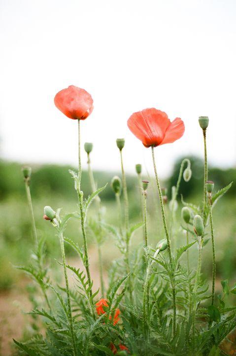 blooming poppies - Anton Popov