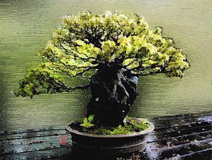 Bonsai Woodcut