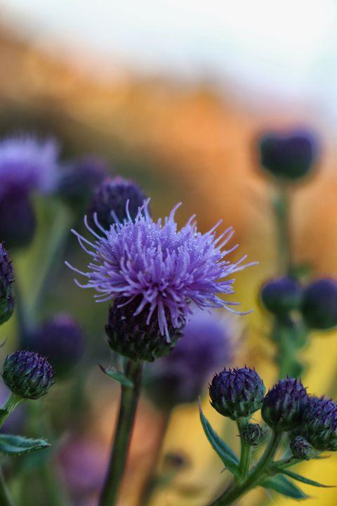 Purple Flower - Ivan's Photography