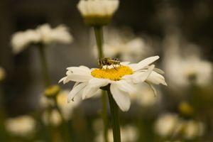 Bee On The Daisy