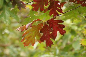 Red Oak Leaves In Fall
