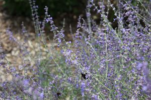 Bees Love The Lavender