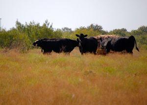 Wild Herd