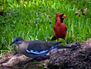 Cardinal and Dove at Play