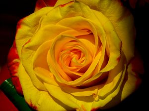 Yellow with Red Edge Rose