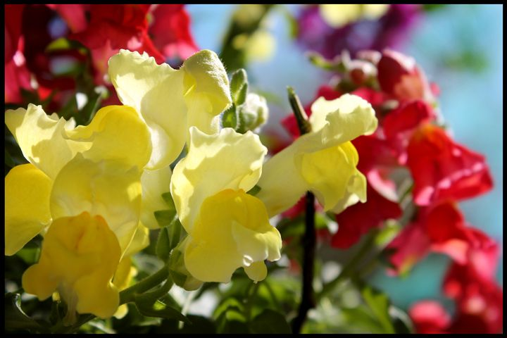 Yellow Snapdragons - Blessed by Gaia