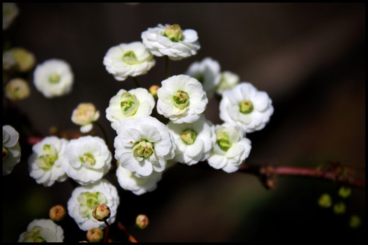 Tiny White Flowers - Blessed by Gaia