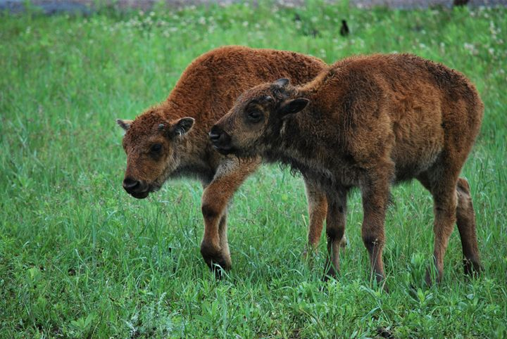 Baby bison - Peyton smith