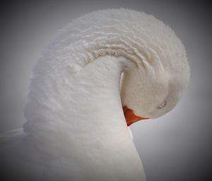 Goose Bowing Down - NatureBabe Photos