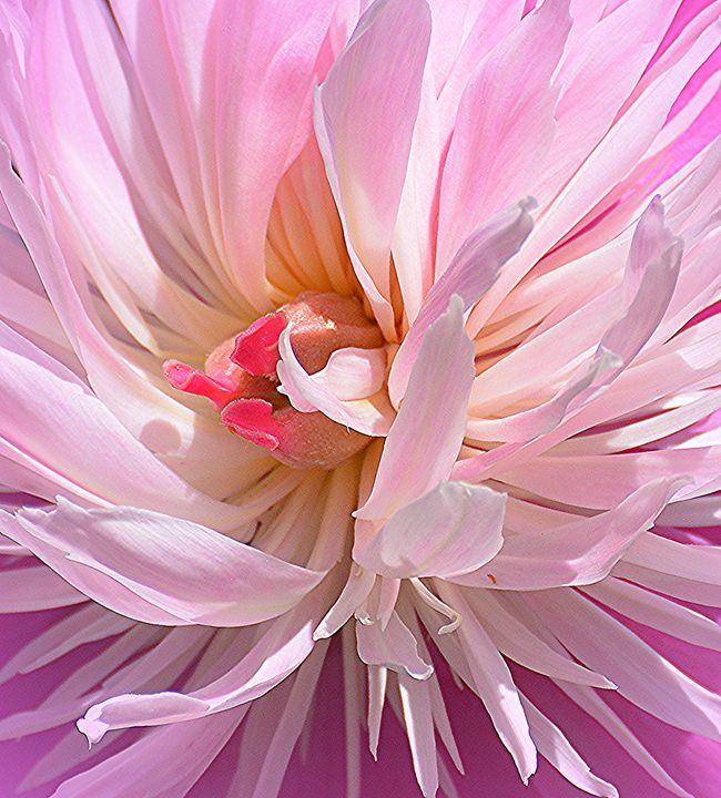 Pretty in Pink Peony - NatureBabe Photos