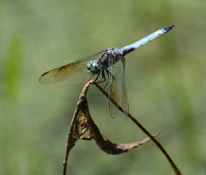 Blue Dasher Dragonfly - NatureBabe Photos