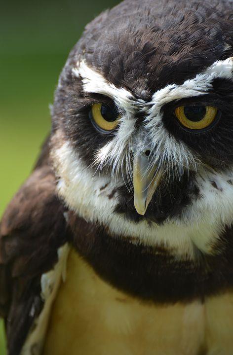 Spectacled Owl - NatureBabe Photos