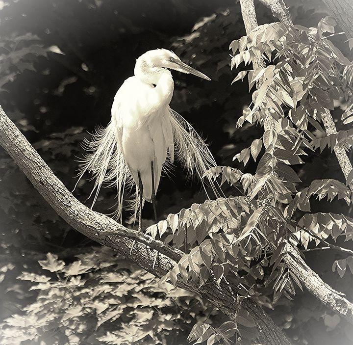 Egret with Breeding Plumage - NatureBabe Photos