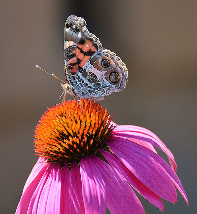 American Lady on Coneflower - NatureBabe Photos