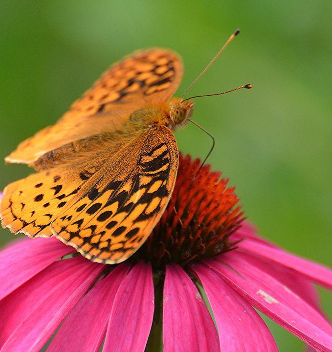 Fritillary on Coneflower - NatureBabe Photos