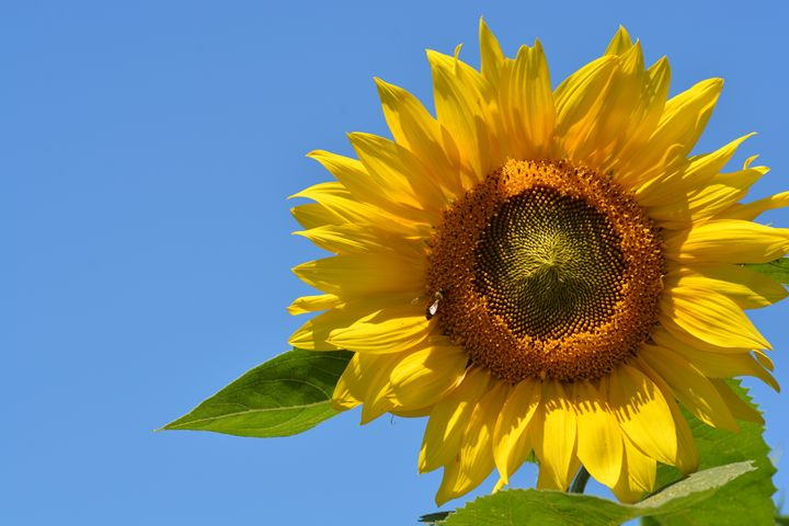 Sunflower and Blue Sky - NatureBabe Photos