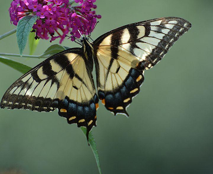 Tiger Swallowtail - NatureBabe Photos